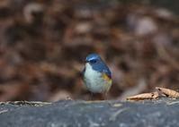 公園でルリが、、 - ぶらり探鳥