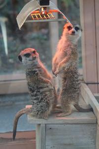 ミーアキャット・コンビとレッサーパンダっ仔(埼玉県こども動物自然公園) - 続々・動物園ありマス。