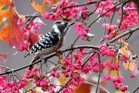 コゲラ~アクロバティックコゲラ君~ - 小鳥の瞳に恋してる