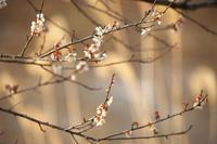 春恋し#2白梅暮色 - 但馬・写真日和