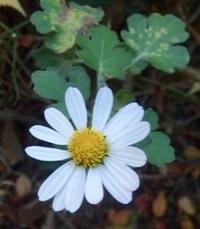 #キク科  『竜脳菊』 Aconitum chinense - 自然感察 *nature feeling*