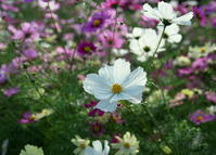花びらの白い色は… - ぎゃらりー竹斎堂