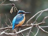 明けましてカワセミです - コーヒー党の野鳥と自然パート3