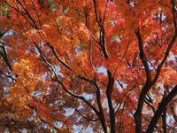 昭和記念公園終盤の紅葉 - 光の 音色を聞きながら Ⅵ