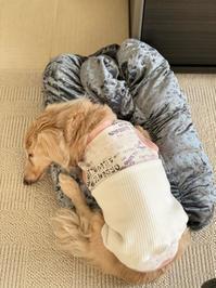 20年12月29日小さなロールクッション! - 旅行犬 さくら 桃子 あんず 日記