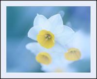 スイセン 2 - 光 塗人 の デジタル フォト グラフィック アート (DIGITAL PHOTOGRAPHIC ARTWORKS)