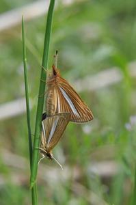 ギンキチモンジセセリ - 続・蝶と自然の物語