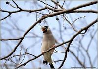 今年の締めはシメでは無くイカル - 野鳥の素顔 <野鳥と日々の出来事>