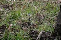 ■餌探し20.12.29(タシギ、ヤマシギ、モズ) - 舞岡公園の自然2