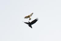シンクロするハイタカとカラス - 鳥と共に日々是好日②