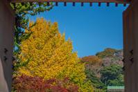浄妙寺のイチョウ2020 - エーデルワイスPhoto