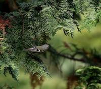 久しぶりのキクイタダキ・・・ - 一期一会の野鳥たち