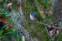 2020-210 今年最後のルリビタキ - 近隣の野鳥を探して2