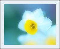スイセン 3 - 光 塗人 の デジタル フォト グラフィック アート (DIGITAL PHOTOGRAPHIC ARTWORKS)