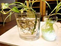 オリヅルランの水栽培 - スポック艦長のPhoto Diary