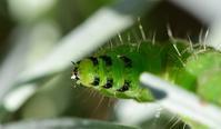 芋虫2種 - *la nature*