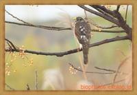 淀川河川敷・三島江でハイタカを鳥×撮り2020.12 - 鳥×撮り+あるふぁ~