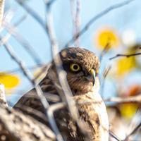 MFでハイタカ幼鳥を観察しました(2020.12.27) - 週末バーダーのBirding記録