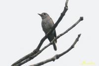 6・27ソウシチョウ、メジロ、コサメビタキ - ブログ和歌山の里山便り2