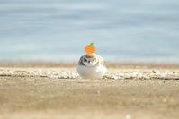 # シロチドリ餅、トウネン - TORI たどり (小鳥、わんこ、写真 ♥)