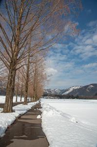雪のメタセコイア並木*Past - 気ままにお散歩