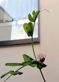 ツタンカーメンの豆花 - La Pousse(ラプス) フローラルのときどき