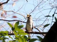 枝先に集うイカル - コーヒー党の野鳥と自然パート3