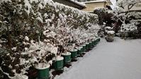 2021正月 鉢植えブルーベリーの冠雪 at 広島市 - 初めてのブルーベリー栽培記