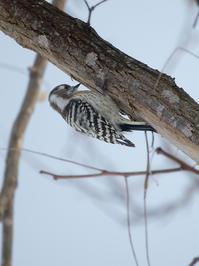 小啄木鳥と五十雀 - 北国の顔ぶれ
