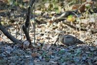 Eurasian Woodcpck - AVES