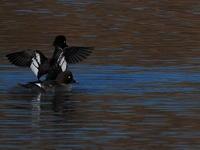 深谷市旧白鳥飛来地 2021.1.2(1) - 鳥撮り遊び