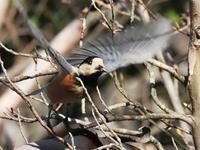 飛躍するヤマガラ - コーヒー党の野鳥と自然パート3