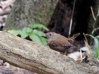 倒木の隙間のミソサザイ - コーヒー党の野鳥と自然パート3