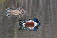 ハシビロガモ(嘴広鴨) - 野鳥などの撮影記録