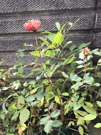 12月の終わりに土替えしたフィネスのこと - バラやらナンやら