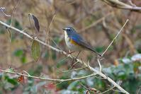 2021-002 今年初撮りルリビタキ - 近隣の野鳥を探して2