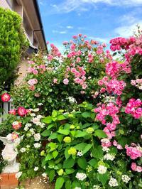 つるバラの誘引剪定♡ホーム&ガーデンと、レストランの食事風景♫ - 薪割りマコのバラの庭