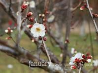 新春の梅 - park diary
