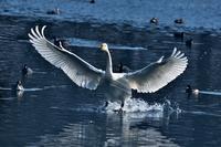 みちのく今年も白鳥たち - みちのくの大自然