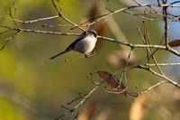 2021-003 エナガ - 近隣の野鳥を探して2