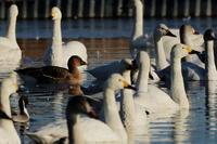 旧本埜村白鳥飛来地 2021.1.3(2) - 鳥撮り遊び