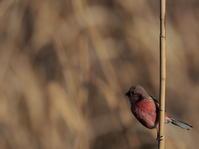印旛沼北部調整池 2021.1.3(3) - 鳥撮り遊び