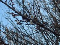梅が咲いています - 小高い丘の麓から