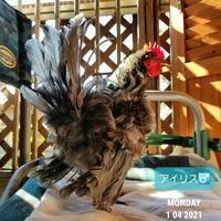 チャボの日向ぼっこ - 烏骨鶏かわいいブログ