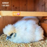 座る鶏 - 烏骨鶏かわいいブログ