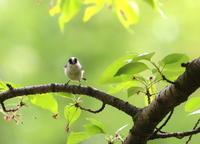 Long-tailed tit - 鳥のように自由に