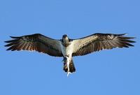 Osprey - 鳥のように自由に