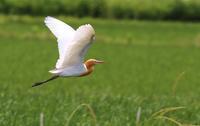 Cattle egret - 鳥のように自由に