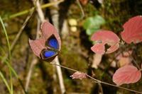 ムラサキシジミ新年のルーミス狙い - 蝶のいる風景blog
