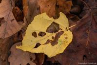 虫食い落ち葉 - ひつじ雲日記